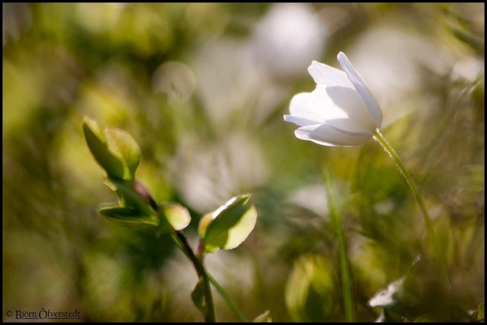 A wood anemone.